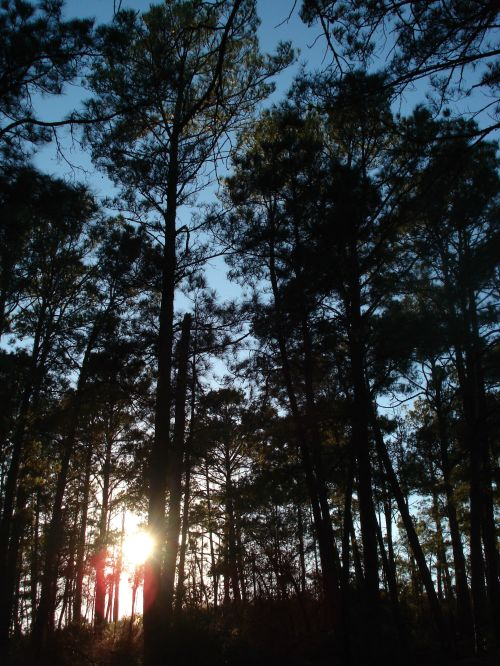Lonely Pines. Bastrop State Park